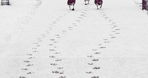 Ducks on the road