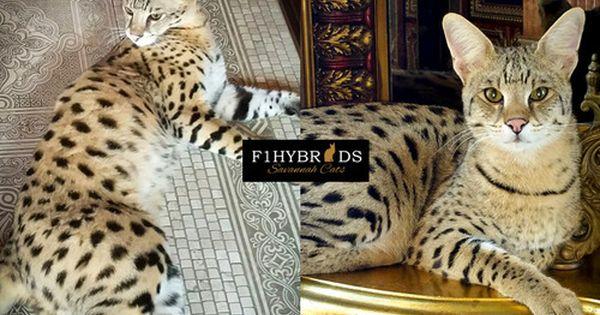 Client Testimonials For Our F1 Savannah Cat F2 Savannah Cats