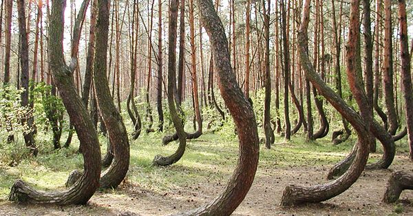 Poland's Mysterious Crooked Forest: In a tiny corner of western Poland a