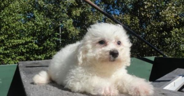 Beautiful Registered Bichon Frise Puppy He Is 11 Weeks Old Bichon Frise Puppy Puppies Bichon Frise