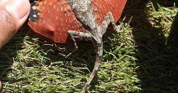 Lizard with wings in Indonesia. Looks like the miniatures in Harry Potter.