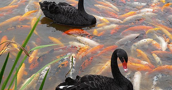 Black swans and koi fish picture perfect world birds for Perfect koi
