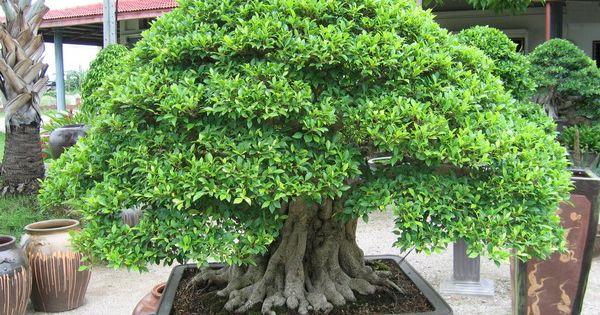 Como cultivar o bonsai bonsai pinterest rvores - Como cultivar bonsai ...