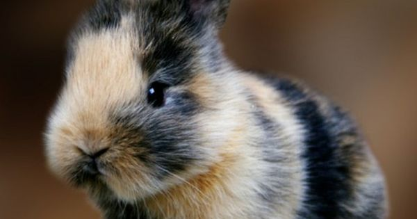 A fantastically adorable little calico bunny. Love!!! bunnies cute rabbits animals pets