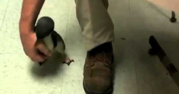 Little penguin at Cincinnati zoo being tickled. This is the cutest thing