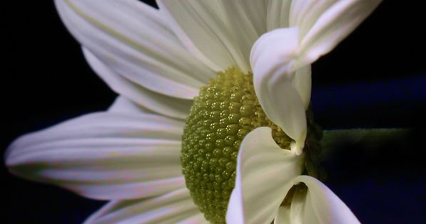 Daisy | Flowers, Beautiful flowers and Plants