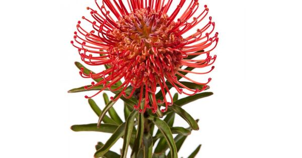 Protea Pincushion Flower Beautiful Inspiration For Thread Sketching Or Embroidery Flowers For Sale Protea Types Of Flowers