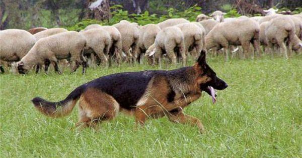 Deutscher Schaferhund Stockhaar Vdh Rasselexikon Schaferhunde Deutscher Schaferhund Deutsch Schaferhunde