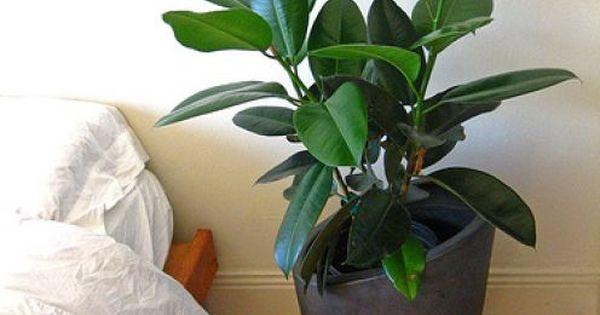 Easiest indoor houseplants to maintain ficus elastica for Indoor plants easy to maintain