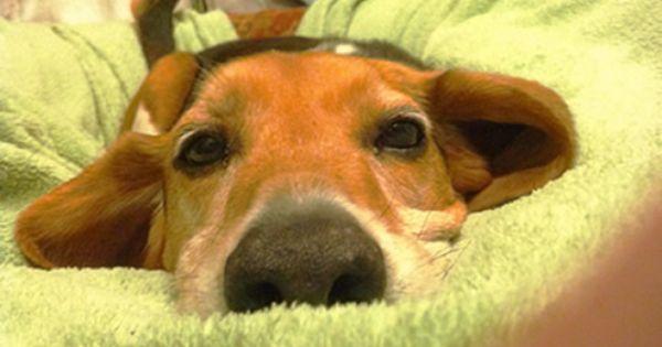 B R E W Beagle Rescue Beagle Rescue Beagle Mix