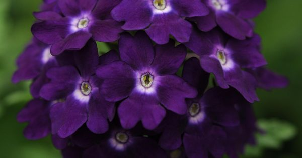 Native Ks plant -- Purple Verbena, flowers, gardening, landscaping, plantings, deep purple