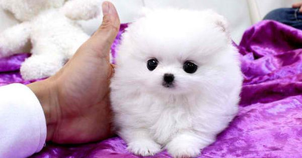 white teacup pomeranian puppy... The cutest animal ever.