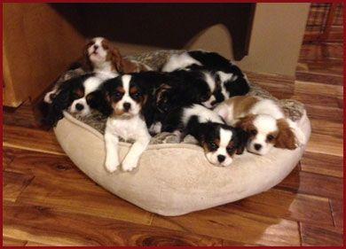 Saranade Cavalier King Charles Spaniel Puppies King Charles Cavalier Spaniel Puppy Cavalier King Charles Spaniel King Charles Spaniel