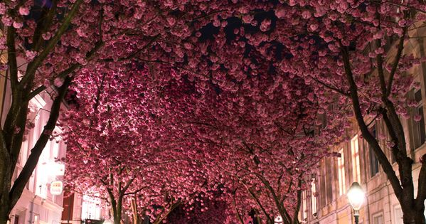 Pink blossomed tree canopy