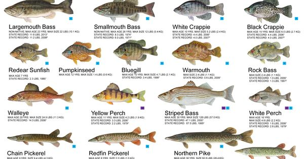 common freshwater fish identification inland fishes of md