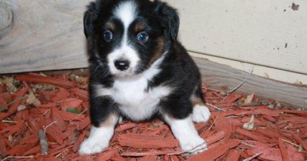 Augi Corgi Aussie Puppy 300 Aussie Puppies Puppies Corgi