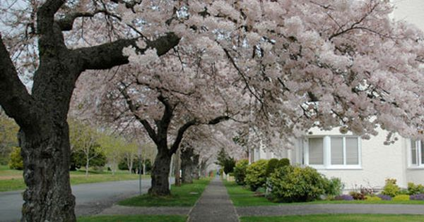 How To Trim A Weeping Cherry Tree 5 Pruning Tips And Mistakes That You Should Know Weeping Cherry Tree Cherry Tree Cherry Trees Garden