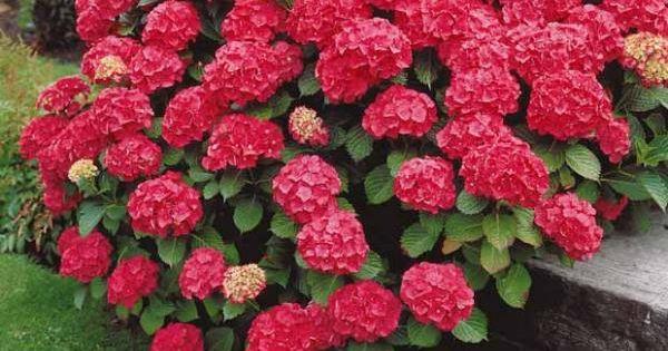 hortensia rouge achat vente arbustes en ligne chez willemse d co ext rieur architecture. Black Bedroom Furniture Sets. Home Design Ideas