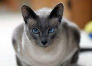 Types Of Siamese Cats With Images Siamese Cats Blue Point