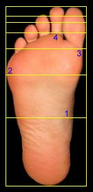 Human Hand and Foot - Phi 1.618: The Golden Number | Divine proportion,  Golden ratio, Human hand
