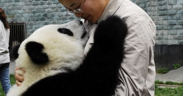 Chen Yu shares a moment with a panda at the Bifengxia ...