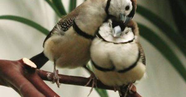 Pin Von Beckahboo1492 Auf Owl Finches Australische Vogel Exotische Vogel Hubsche Vogel