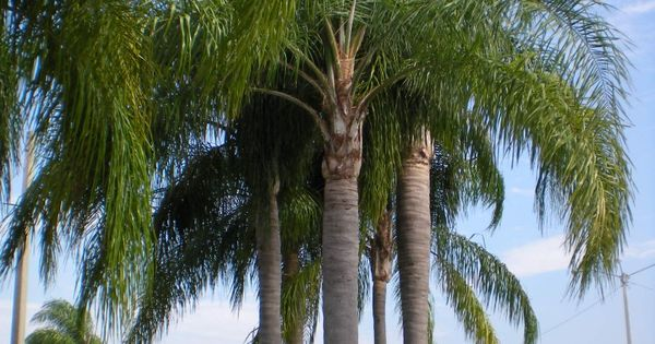 Queen Palm Group Of Three Front Left Four In Back Yard