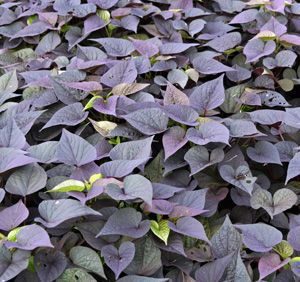 Blackberry Heart Sweet Potato Vine Plants Sweet Potato Plant Purple Garden