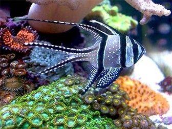 Saltwater Aquarium Cardinal Fish For Sale Saltwater Aquarium Saltwater Fish Tanks Salt Water Fish