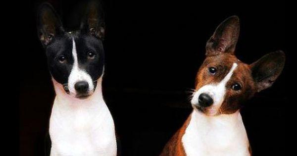 Basenji Pair 2 Basenji Dogs Dog Breeds Dogs