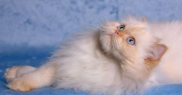 10 Most Popular Flat Faced Cat Breeds In The World Himalayan Cat Persian Cat Doll Face Himalayan Kitten