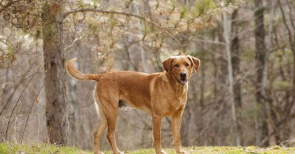 Our Dogs Dogs Balsam Lake Fox Red Lab