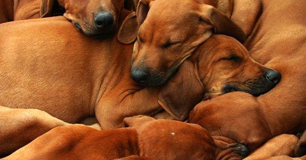 Rhodesian Ridgeback Rhodesian Ridgeback Puppies Rhodesian Ridgeback Rhodesian Ridgeback Dog