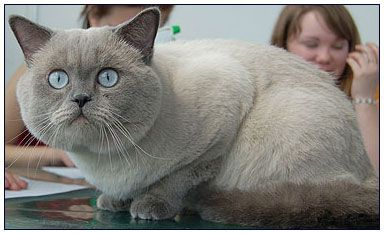 British Shorthair Cat Blue Point British Shorthair Cats Cattery