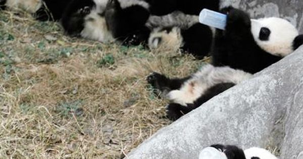 Baby Pandas Drinking Milk, Baby Animals cute baby Animals| http://cutebabyanimalsgallery.blogspot.com