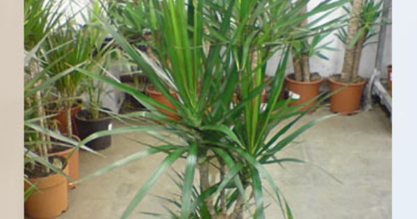 Dracaena marginata low light tolerating air purifying for Low maintenance air purifying plants