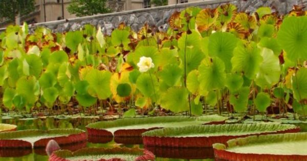 Giant Lily Pads at the Biltmore House, Asheville NC