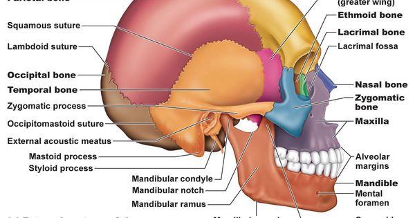 Bones In The Skull Frontal Bones 1 Pareital Bones 2