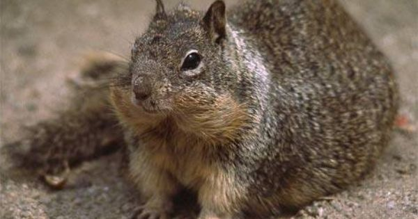 How To Get Rid Of Ground Squirrels Ground Squirrel And Gardens