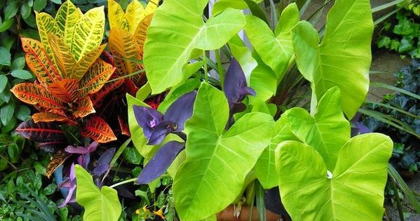 Wandering Jew Plant How to Grow Indoors  The Old Farmer
