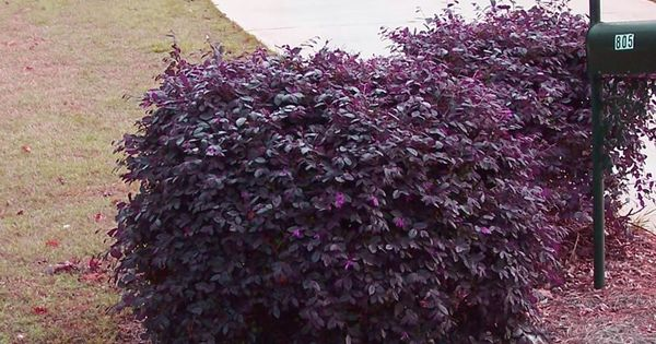 Purple Diamond Loropetalum 5 X 5 Deer Resistant