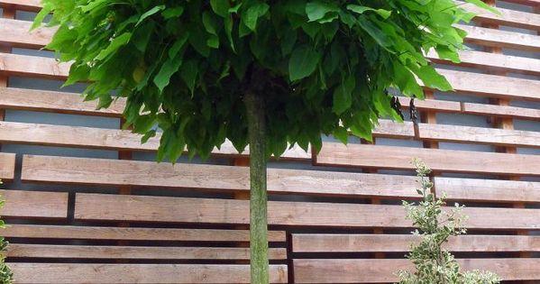 kugelb ume in jedem garten ein hingucker kugelbaum geplant und g rten. Black Bedroom Furniture Sets. Home Design Ideas