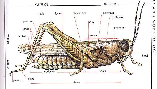 Grassanat Grassanatlge Head Thorax Abdomen Wing Frons Ocellus Tarsus Clypeus Face Atenna Palpi Oviopostior Biology Science And Technology Insecticide