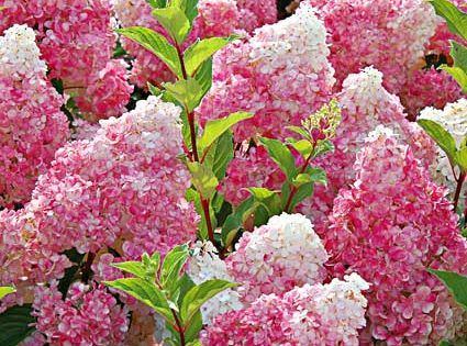 Choose the Best Hydrangeas for Your Garden. Varieties for sun AND shade,