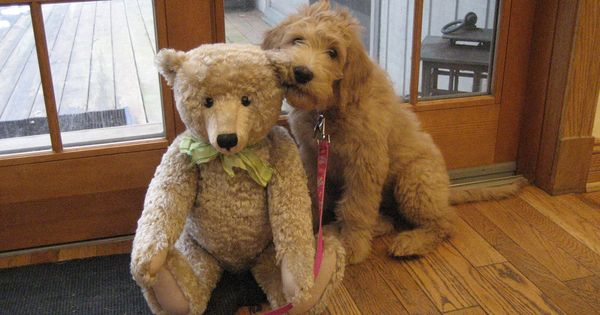 11 dogs so adorable they look like stuffed animals teddy bears so cute and brother. Black Bedroom Furniture Sets. Home Design Ideas