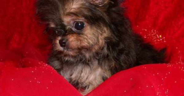 Yorkie Chihuahua Mix Chorkie What Do You Think Yorkie
