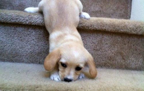 Stairs Are Hard dogs, pets, animals, pinsville, http://yangutu.com/video/tag/dogs