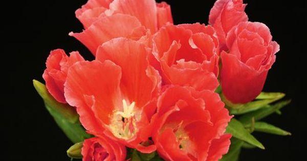 Godetia Coral Coral Flowers Wedding Flowers Peach Wedding Bouquet