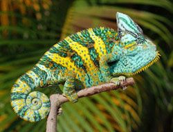 Easy To Read Instructions For Veiled Chameleons Veiled Chameleon