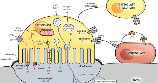 33++ Osteoblasts and osteoclasts in osteoporosis ideas